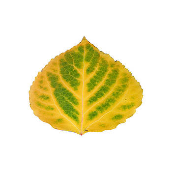 Green and Yellow Aspen Leaf 2 by Agustin Goba