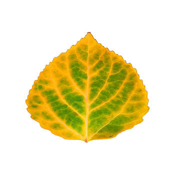 Green and Yellow Aspen Leaf 3 by Agustin Goba
