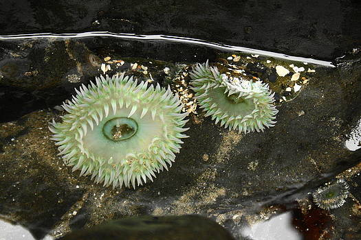 Green Anemones by Steven A Bash