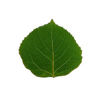 Green Aspen Leaf 2 by Agustin Goba