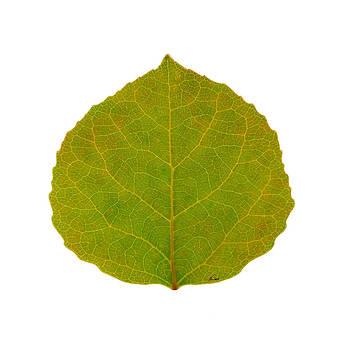 Green Aspen Leaf 4 by Agustin Goba
