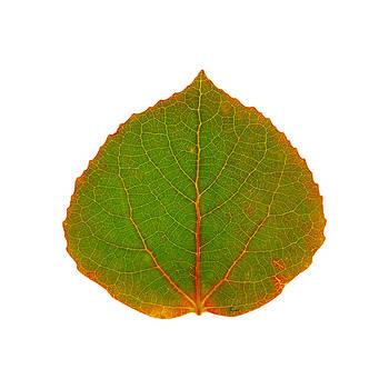 Green Aspen Leaf 5 by Agustin Goba