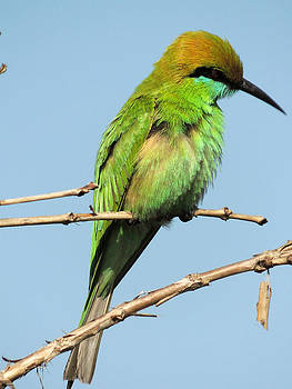 Green bee eater waiting for meal by Ramesh Chand