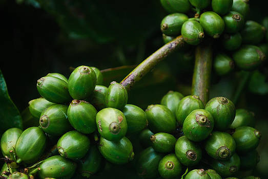 Green coffee beans by Saju S