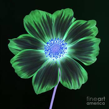 Green cosmos flower by Rosemary Calvert