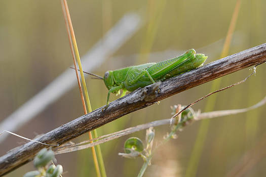 Dwayne Schnell - Green Grass Hopper