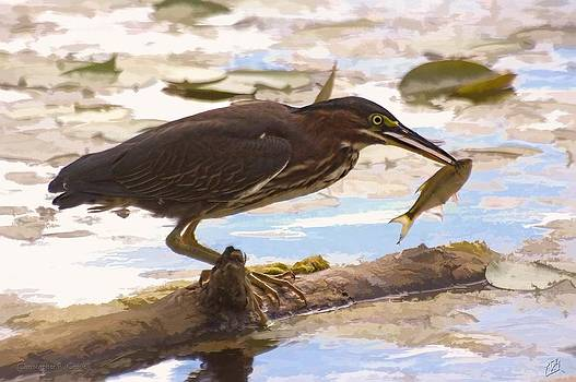 Green Heron Fishing by Christopher Grove