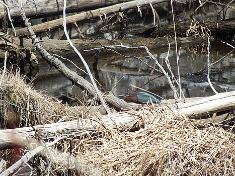 Gene Cyr - Green Heron in Spring