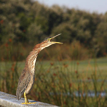 Green Heron - Morning Yawn by Bob and Jan Shriner