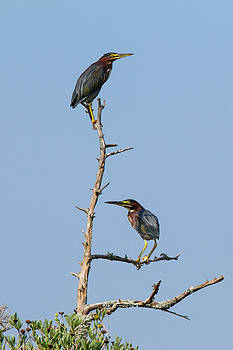 Paul Rebmann - Green Heron Pair