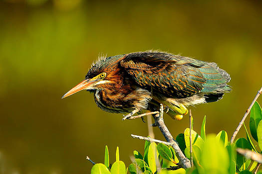 Green Heron by Patrick Anderson