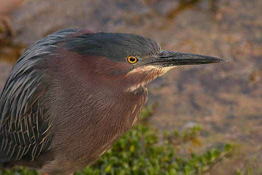 Paul Rebmann - Green Heron