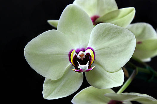Green Hybrid Phalaenopsis flower with a red wine center by William Tanneberger