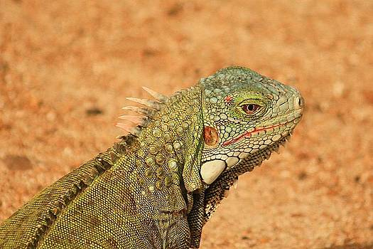 Green Iguana by Richard Stillwell