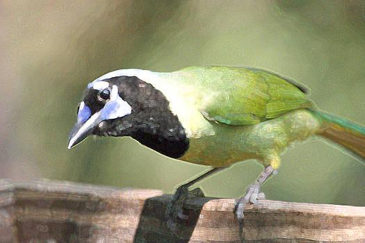 Green Jay by Bob Richter