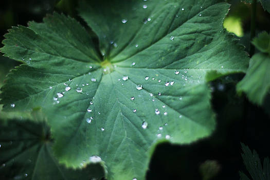 Green Leaf After a Rainy Night by David Schoenheit