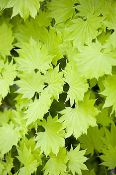 Green Leaves by Gillian Dernie