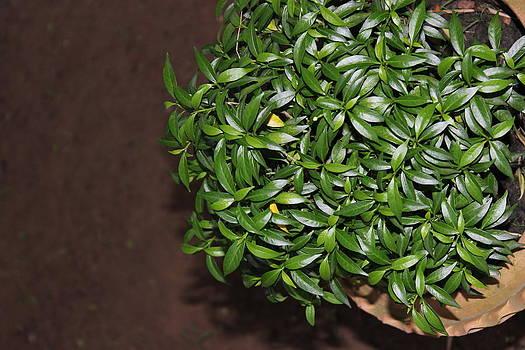 Green leaves by Subesh Gupta