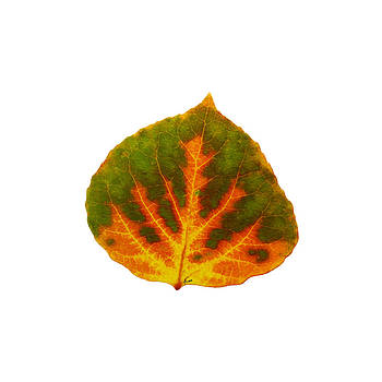Green Orange and Yellow Aspen leaf 1 by Agustin Goba
