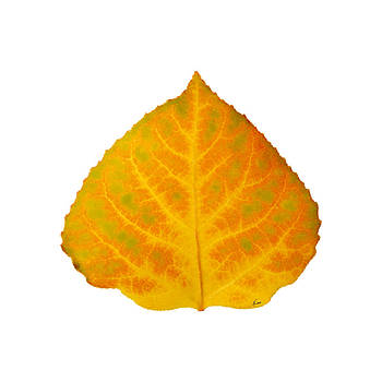 Green Orange and Yellow Aspen Leaf 2 by Agustin Goba