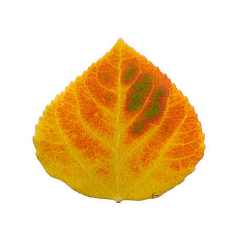 Green Orange Red and Yellow Aspen Leaf 2 by Agustin Goba