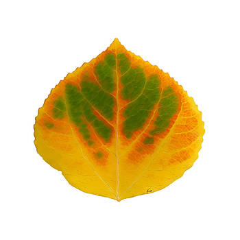Green Orange Red and Yellow Aspen Leaf 3 by Agustin Goba