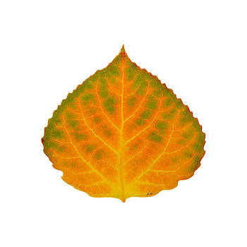 Green Orange Red and Yellow Aspen Leaf 4 by Agustin Goba