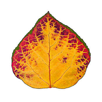 Green Red and Yellow Aspen Leaf 1 by Agustin Goba