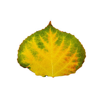 Green Red and Yellow Aspen Leaf 2 by Agustin Goba