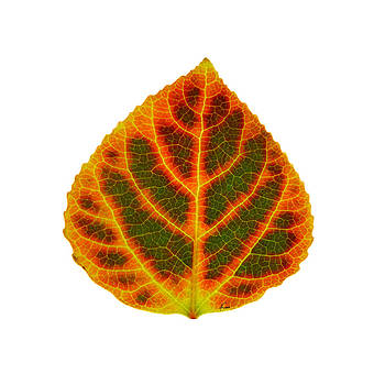 Green Red and Yellow Aspen Leaf 3 by Agustin Goba