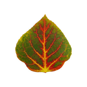 Green Red and Yellow Aspen Leaf 4 by Agustin Goba