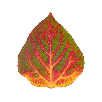 Green Red and Yellow Aspen Leaf 5 by Agustin Goba