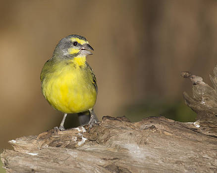 Green Singing Finch by Gerald Murray Photography