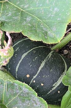 Green Striped Squash by Andrew Miles