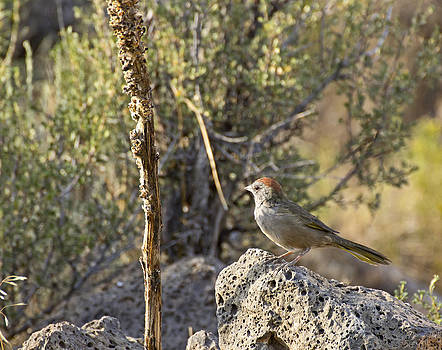 Green-Tailed Towhee In Sunshine by Ginger Sanders