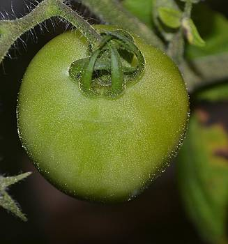 Green Tomato by Michael Sokalski