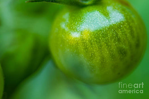 Green Tomato by Patricia Bainter