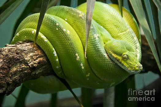 Green Tree Python by David Doucot