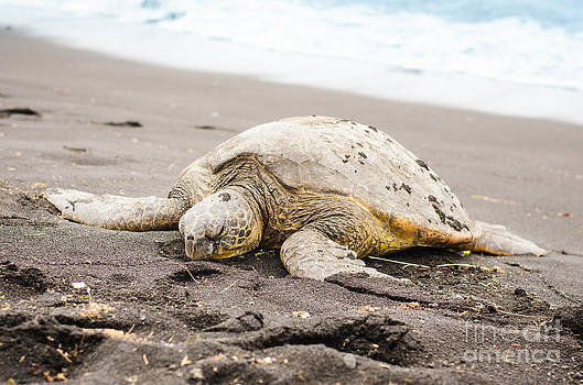 Green Turtle on the Black Beach by Chris Ann Wiggins