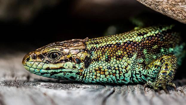 Green Viviparous Lizard by Mikko Karjalainen