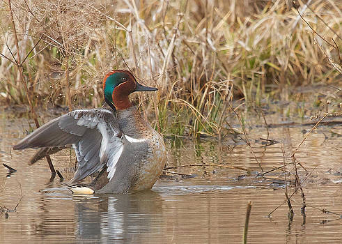 Green-winged Teal by Diane Porter