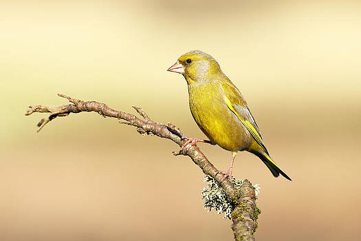 Greenfinch by Grant Glendinning