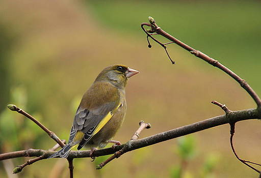 Greenfinch by Peter Skelton