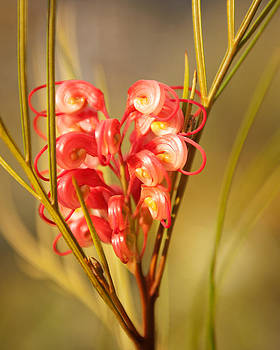 Grevillea shrub by Sammy Miller