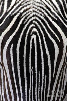 Craig K Lorenz - Grevys Zebra