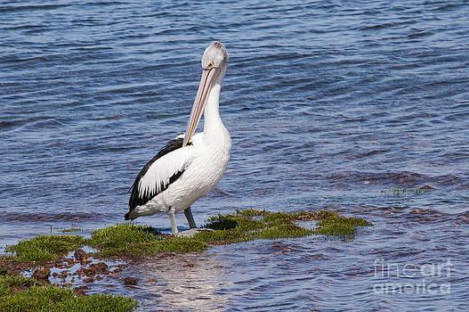 Bob Phillips - Grey Fantail Pelican