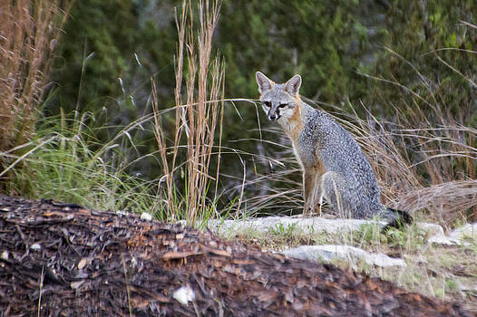 Grey Fox at rest by Dana Moyer