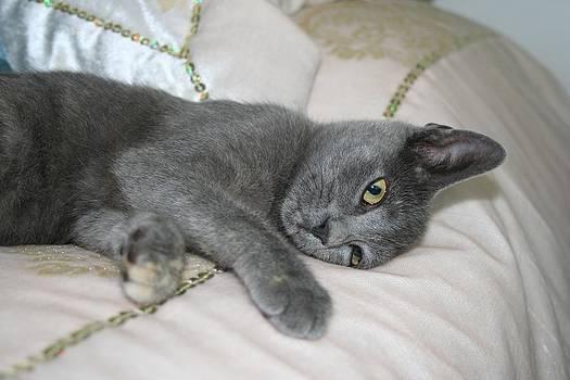 Tracey Harrington-Simpson - Grey Kitten Relaxed On A Bed
