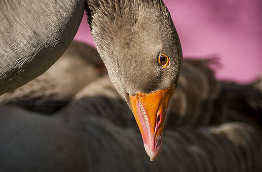 Greylag Goose by Floyd Raymer