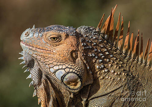 Grinning iguana by George Cathcart